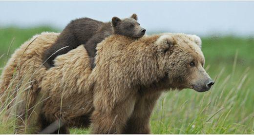 Les 30 photos de ces mamans ours avec leur bébé vont juste vous faire craquer : ours polaires et ours bruns, il y en a vraiment pour tous les goûts !