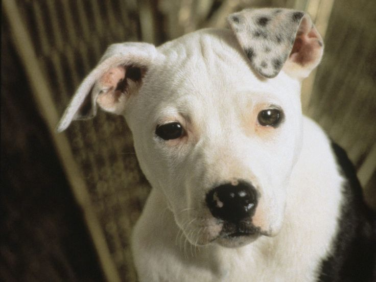 American Pitbull Terrier Pictures