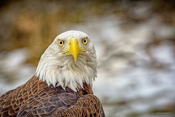 American Bald Eagle By LeeAnn McLaneGoetz McLaneGoetzStudioLLC.com  Did you know that the male and female bald eagles are identical in plumage, but females are about 25 percent larger than males. #American Eagle, #Eagle