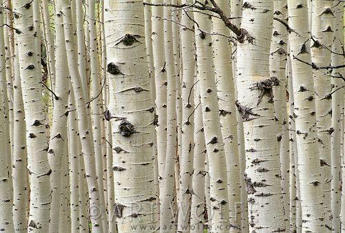 Aspen stand, Maroon Bells-Snowmass Wilderness, Colorado, USA