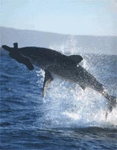 Great White Shark breaching off the coast of South Africa. (This is the only location in the world where White sharks do this.)
