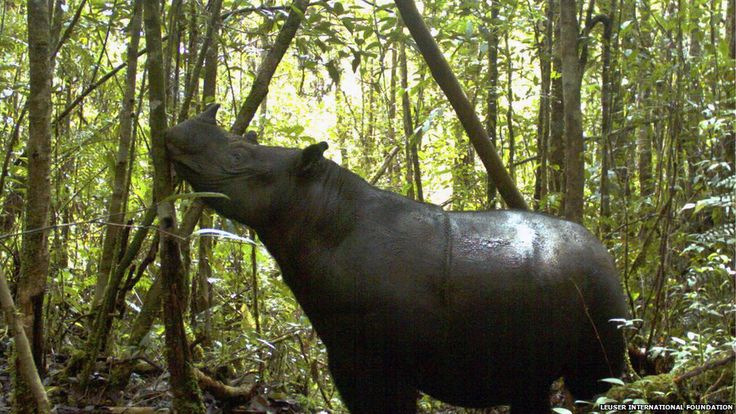 A Sumatran rhino roams at Gunung Leuser National Park in Aceh province, Indonesia. A conservationist said that seven of the world's rarest rhinoceroses were photographed at the national park. It is the first sighting there in 26 years.