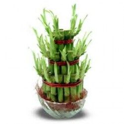 Bamboo is considered as the luckiest plant in the Asian culture.  Surprise your loved one with this Good Luck Bamboo !!!  http://livinggifts.co.in/good-luck-plant-3-layer