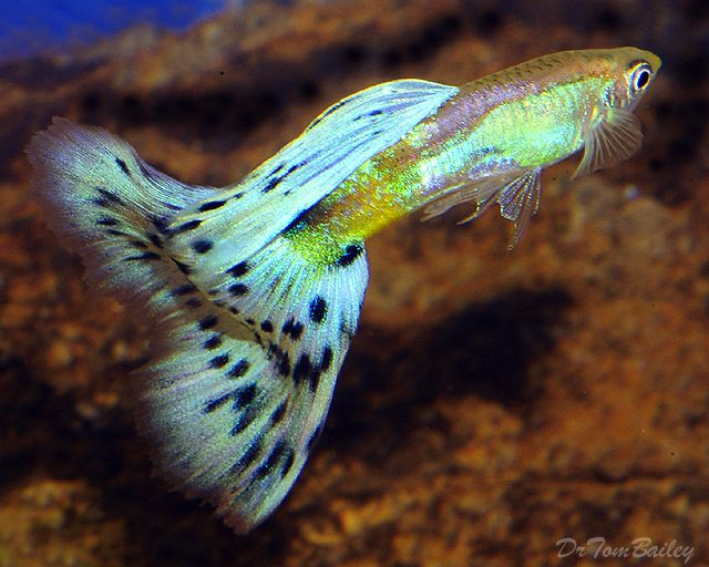 17 best images about guppies on pinterest neon red for Freshwater tropical fish for sale