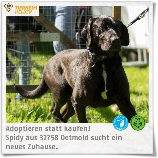 Spidy wurde wegen Überforderung im Tierheim Detmold abgeben.  http://www.tierheimhelden.de/hund/tierheim-detmold/doggenmischling/spidy/7933-0/