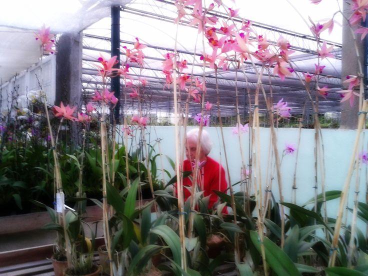 Orquídeas no Orquidário Binot