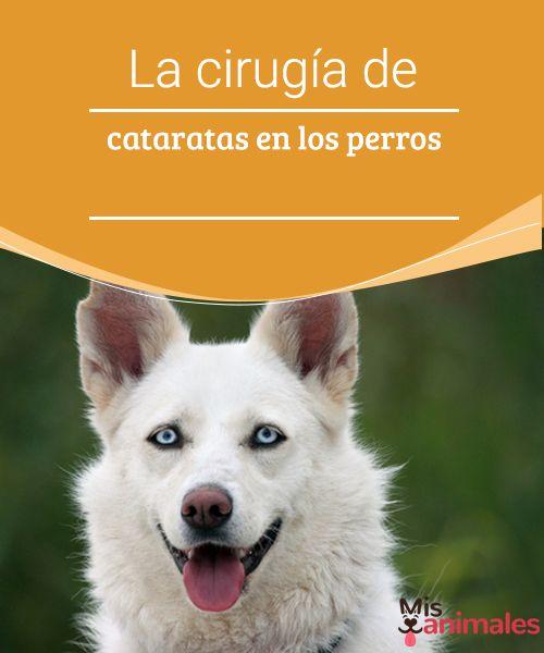 La cirugía de cataratas en los perros  Las cataratas en los perros, es más común de lo que te imaginas. Sin embargo, mediante una operación pueden mejorar su visión y desaparecer el problema.