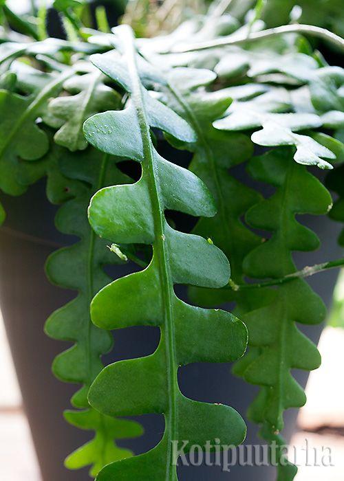 Lehtikaktukset (Epiphyllum) sopivat myös amppeliin ja korkeisiin ruukkuihin. Kuivuus ja viileä paikka edistävät kukintaa. Kuvassa E. anguliger -laji. Lue vinkit viherkasvien hoitoon http://www.kotipuutarha.fi/puutarhavinkit/koristekasvit/viherkasvien-hoito.html