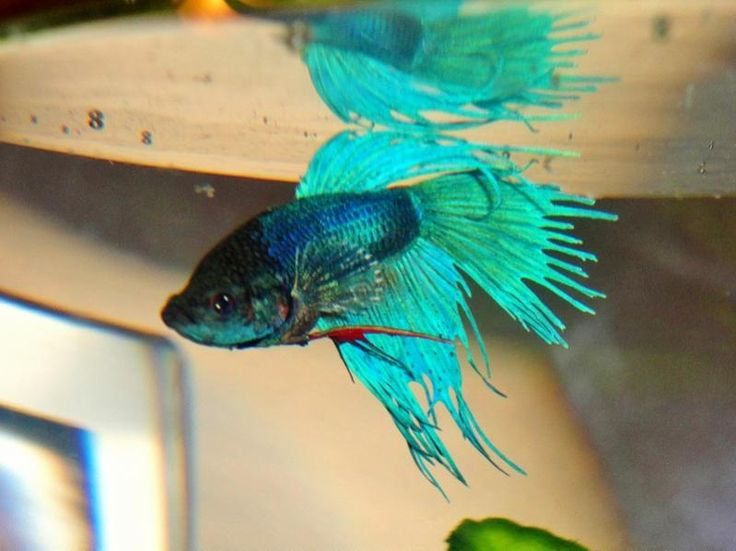 12 best fish diseases and treatment images on pinterest for Salt bath for fish