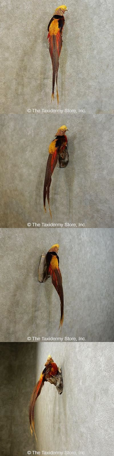 Small Animals 71129: #16528 E+ | Golden Pheasant Taxidermy Bird Mount For Sale -> BUY IT NOW ONLY: $490.5 on eBay!