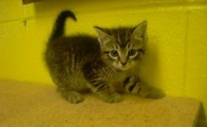 Hillary is an adoptable Tabby - White Cat in Paragould, AR.  Hillaryis a 6 week old short-haired tabby/white female kitten. She is gentle, friendly, affectionate, and playful....