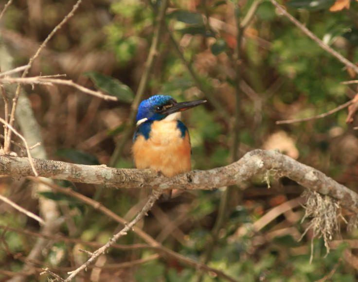 Half collared kingfisher, Kariega river