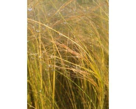 Ostnica cieniutka (Stipa tenuissima) Pony Tails - Szkółka Bylin | KrainaBylin
