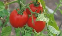 A Tomato Plant With Curling Leaves:: Yellow Flowers, Gardens Ideas, Keep Bugs Away, Milk Jug, Vegetables Gardens, Growing Tomatoes, Tomatoes Plants, Leaves, Veggies Gardens