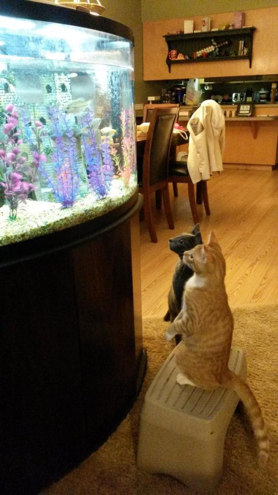 Meow look at those beautiful and yummy fishes in the fish tank. Sure do don't mind having a taste of it.
