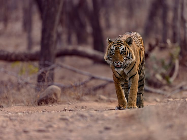 T64 - This big male walked around the bend late in the evening.