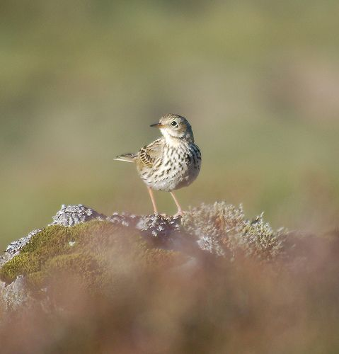 Pipit | Another shot of a Meadow Pipit | Andrew Pescod | Flickr