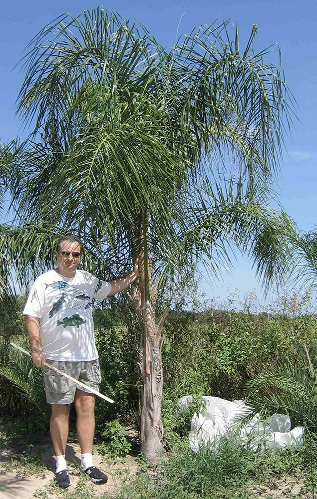 Buy Queen Palm Trees Syagrus romanzoffiana Palms - #PalmTrees RealPalmTrees.com #cycadpalms #Texas #California #Florida Wholesale Date Palms and plants #Landscape #Ideas #coldhardypalms #drytolerant #southflorida