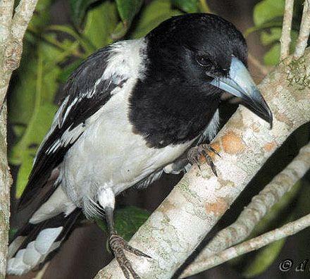 Cracticus nigrogularis - Pied Butcherbird