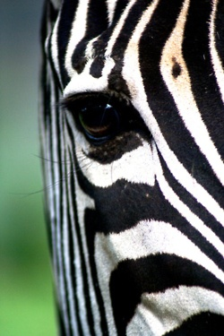 I am in love with zebra lately, not sure why