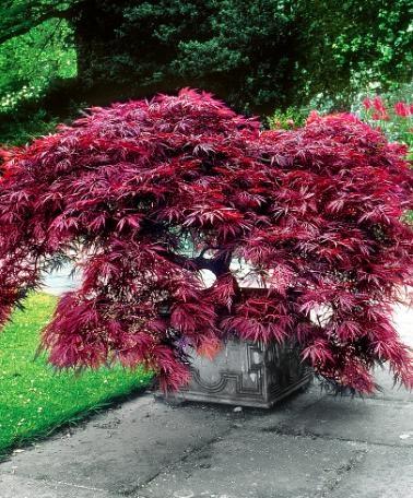 Japanse esdoorn 'Dissectum Garnet'- Struik | Acer palmatum 'Dissectum Garnet'  | Het prachtige, donkerrode blad van de Japanse esdoorn (Acer palmatum 'Dissectum Garnet') is fijntjes ingesneden. In de herfst verkleurt het helder rood. Deze compacte sierheester is heel geschikt voor de kleine tuin, voor de border en voor de rotstuin. U kunt de Japanse esdoorn 'Dissectum Garnet' ook prima in een ruime bloempot of plantenbak kweken.
