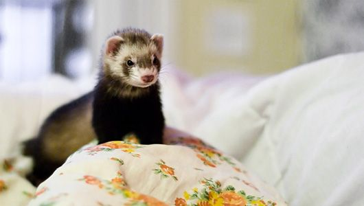 #Ferrets are pesky and musky creatures but they are #cute. Here's how to have ferrets and keep your house smelling fine. #pets