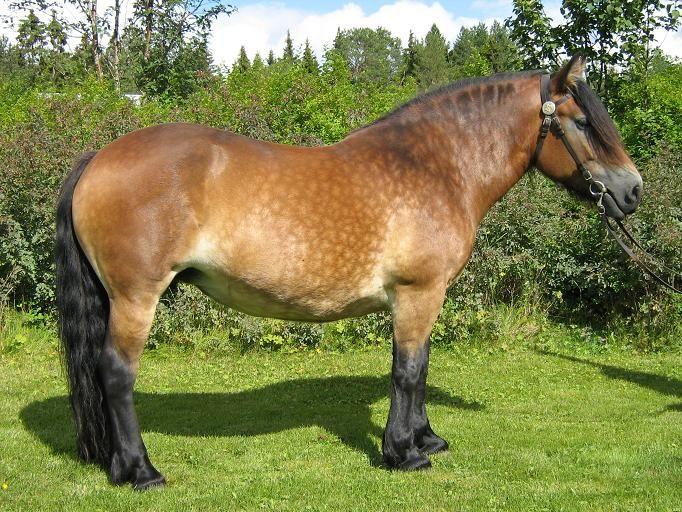 Vika-Pia, North Swedish horse