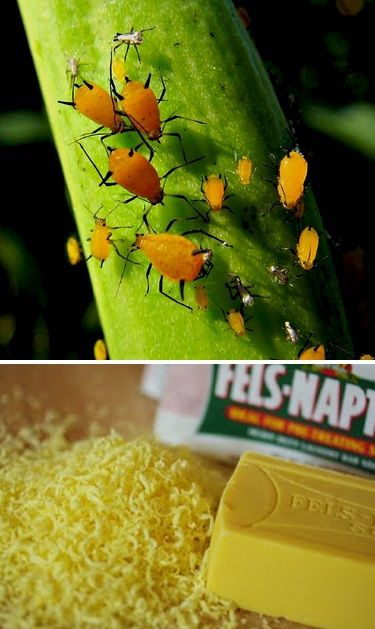 Killing Aphids with Soap. HOMEMADE INSECTICIDAL SOAP CONCENTRATE 1/4 cup grated soap (I use Fels-Naptha, but Ivory or other real soap - see above - will work) 4 cups hot water Stir soap into water until dissolved. Store in a jar until ready to use. To dilute for plant use: Add 1 tsp. concentrate per 4 cups (32 oz.) of water. Pour solution into a spray bottle. This soap is a contact poison - spray directly onto the aphids. It will not harm your plants.