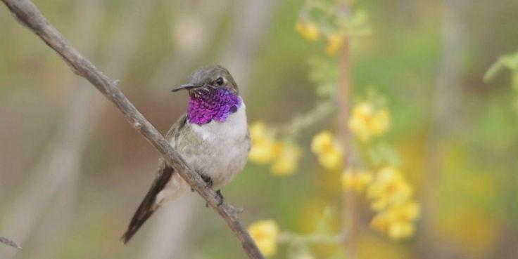 Picaflor de Arica, el ave más amenazada de Chile