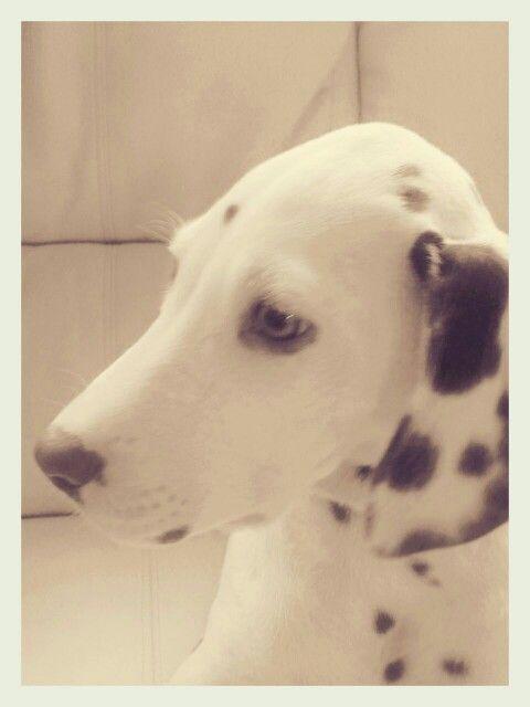 Miss Hazel - my brown dalmatian puppy