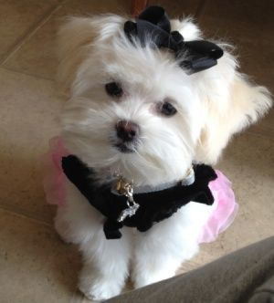 #maltipoo #dogs #cute Ryan said I can have one! :)