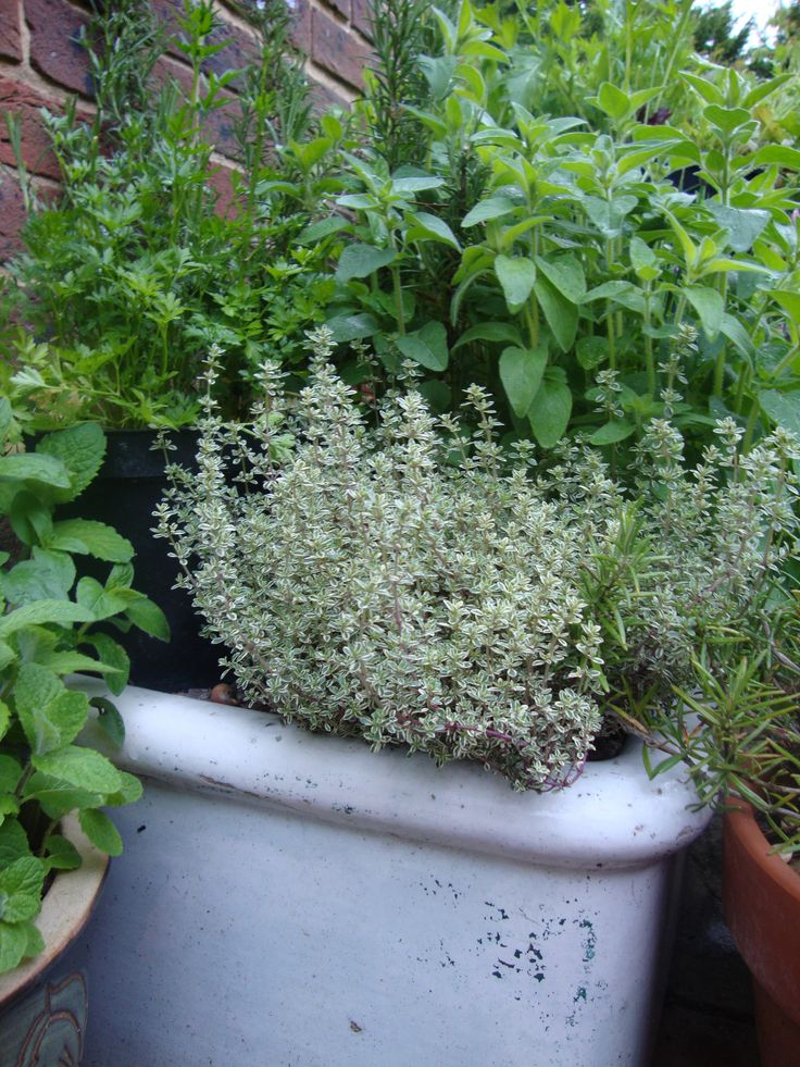 Herbs grow well in an old Belfast Sink