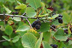 Smokey Saskatoon (Amelanchier alnifolia 'Smokey') at Shelmerdine Garden Center