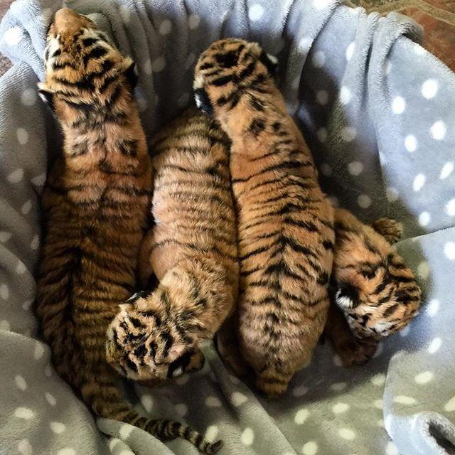 Newborn tiger cubs!!! - Zoological Wildlife Foundation - ZWF Miami