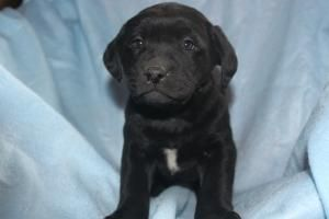 Labrador Retriever Puppies For Sale In Millerstown Pa http://www.network34.com/dogsbreed/labrador-retriever-puppies-for-sale-pa-md-ny-nj-dc/