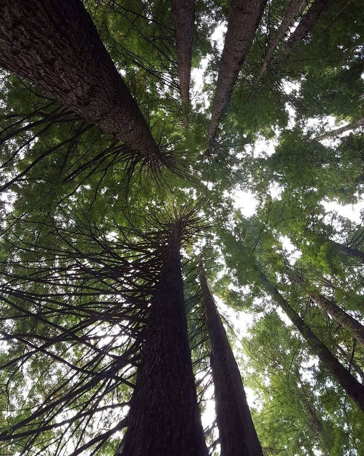 Explore The Redwoods in Beech Forest on your way to Best Western Apollo Bay  #bestwesternapollobay #apollobay #local #explore #greatoceanroad #travel #australia #victoria #redwood #trees #bush #forest by bestwesternapollobay