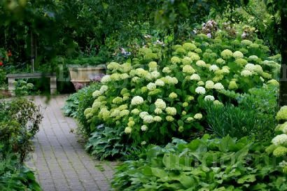 They don't do well where we live, but I love these bushes. Hydrangea paniculata Grandiflora