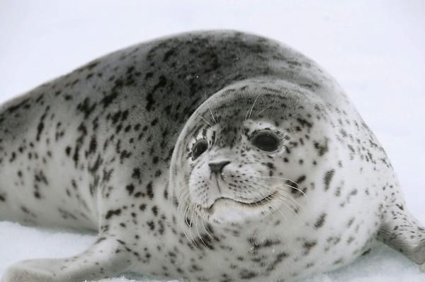 La fauna de la Tundra Ártica - ExpertoAnimal