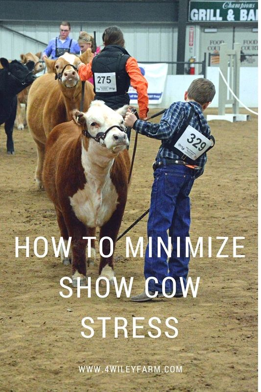 The stock show circuit can be very stressful on cows.  Here are a few tricks and strategies to keep your cows eating, drinking and feeling their best for the show.