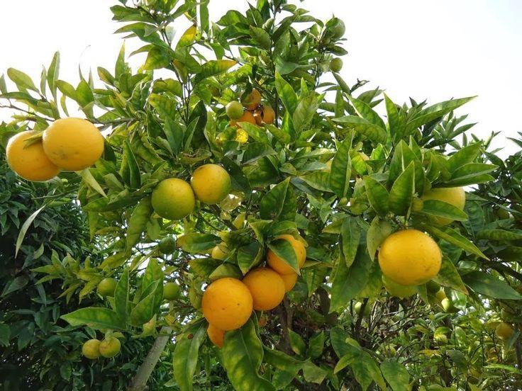 euMEDICINA: Proč citróny? Protože jsou zdravé! Pomáhají na pře...