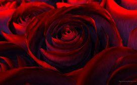 Růže, červené, krásná příroda, růže, červená, květiny, lístky, krásy, vykreslování