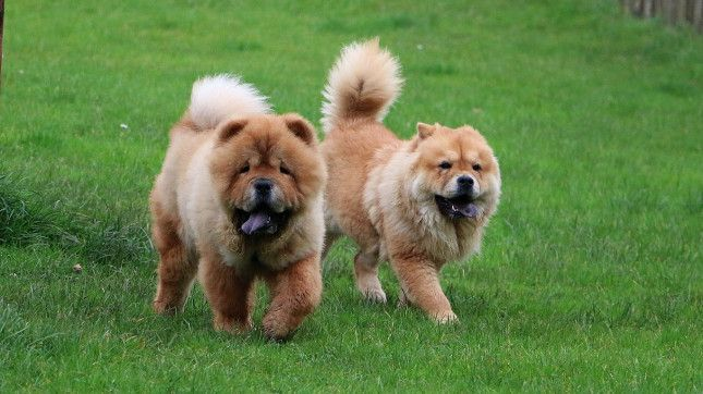 24 Chow Chow Median Lifespan 9 4 Years The Shortest And
