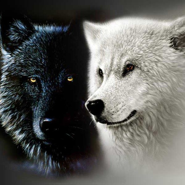 """A #Native #American #grandfather was talking to his #grandson about how he #felt.  He said, """"I #feel as if I have two wolves #fighting in my #heart.  One wolf is the #vengeful, #angry, #violent one. The other wolf is the #loving, compassionate one."""""""
