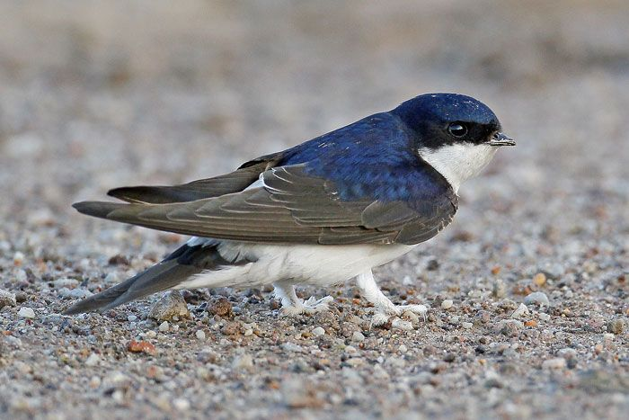 Common House Martin - Greece, 2013