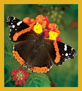 Red Admiral - no longer available