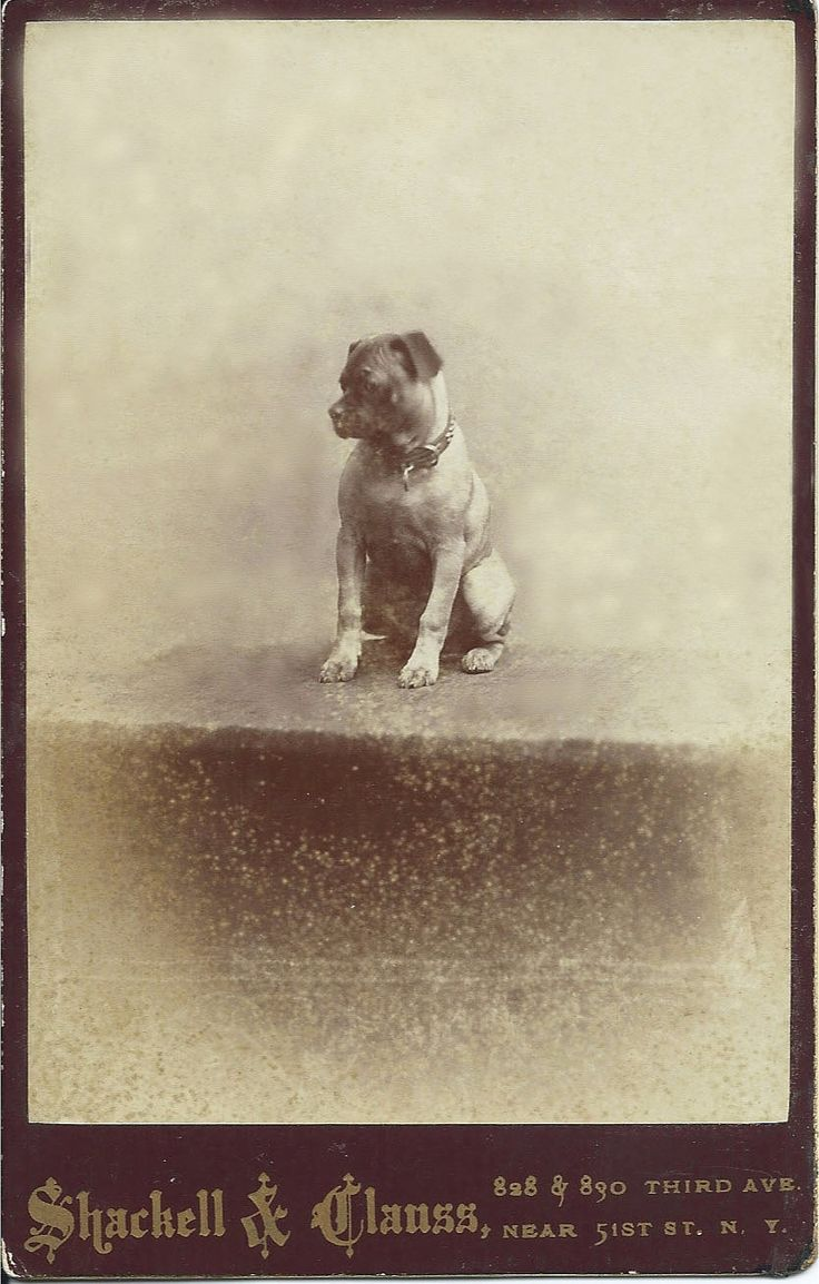 c.1880 cabinet card of Pug who doesn't look so happy about getting his portrait taken. Photo by Shackell & Clauss, 828 & 830 Third Avenue, Near 51st Street, New York. From bendale collection