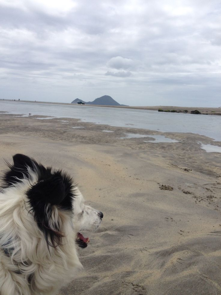 Beach time with my right hand dog #newzealand #bordercollie #dog #beach #river