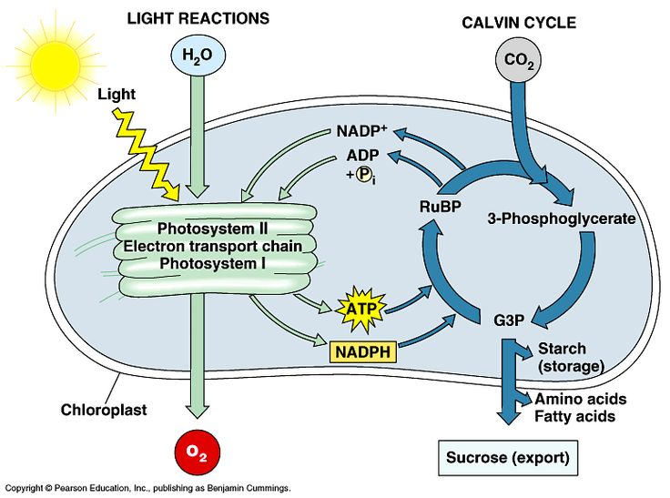 images about photosynthesis on pinterest   biology  poster    biology   apologia biology  biology stuff  biology clever  majors biology  teaching apologia  energy ps  cell energy  photosynthesis diagram