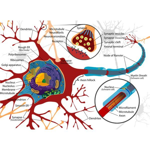 Brain Lobes and Functions Quiz | Diagram Guide Of Brain