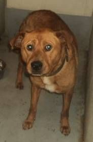 URGENT!!~~~~Meet EUTH ALERT- BOB IS IN GASSING SHELTER a Petfinder adoptable Labrador Retriever Dog | Downingtown, PA | URGENT- BOB IS IN A RURAL SHELTER HE IS A 3-4 YRS. BOB IS SO ADORABLE AND AWESOME PERSONALITY HE...